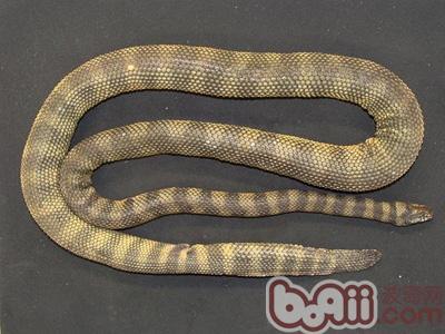 新品种带刺海蛇在澳洲被发现